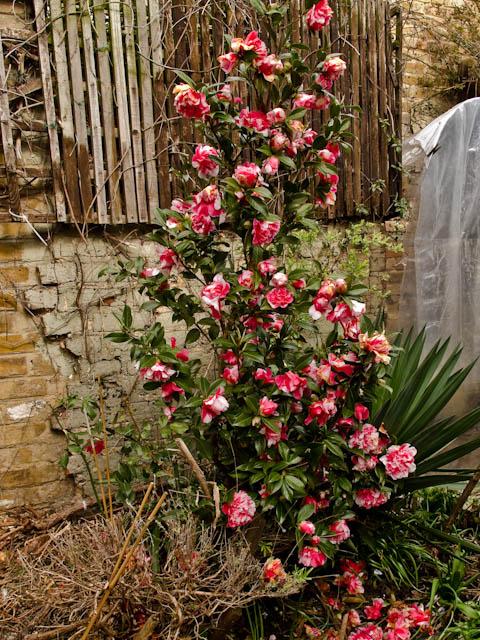 April Camellia