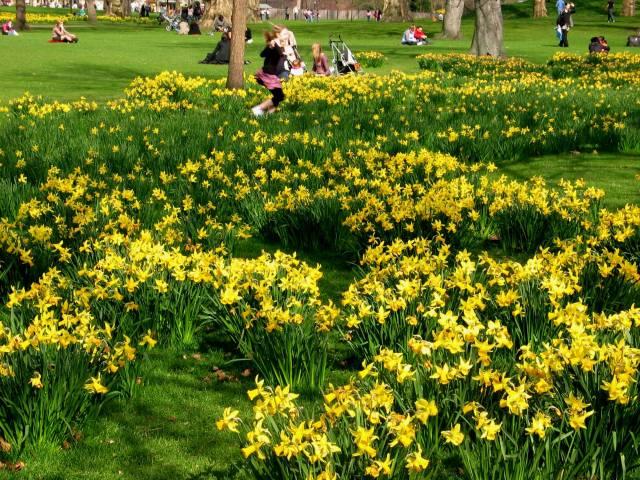 Dance through the daffodils