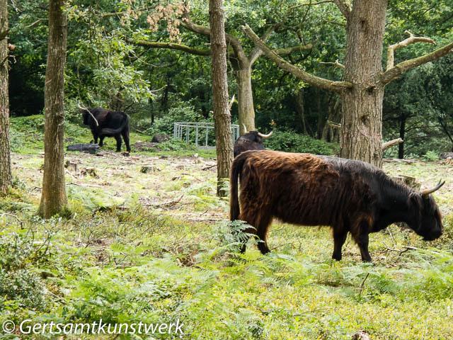 Common cattle