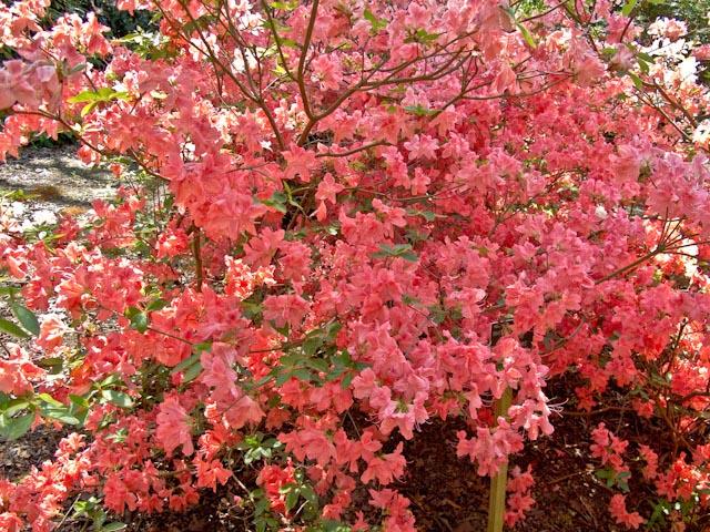 Coral-coloured