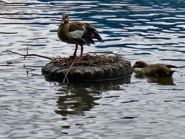 Duck on tyre