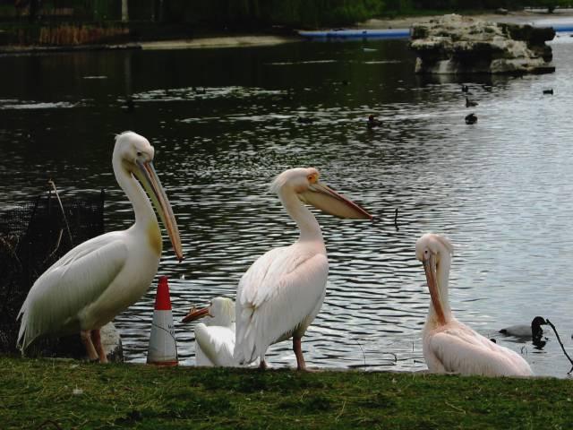 Pelicans in St James's Park